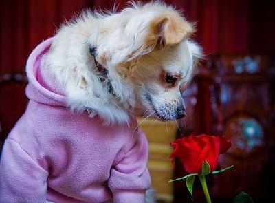 バラの似合うペット03