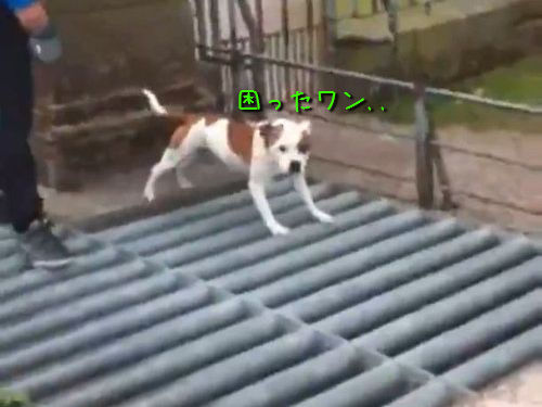 鉄柵の上を歩く犬