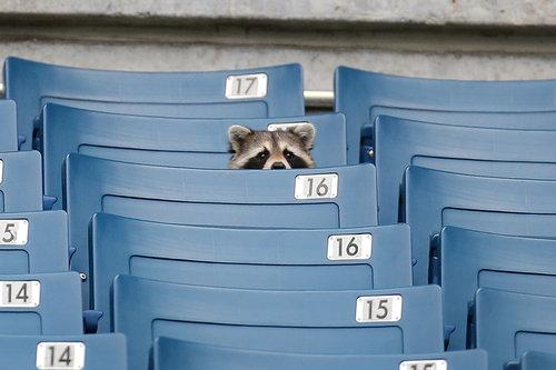 ヤンキースを見るアライグマ01