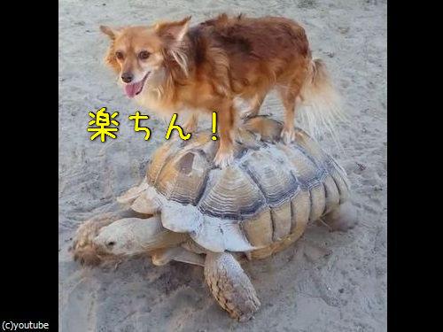 亀に乗る犬00