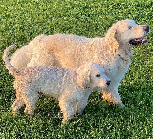 子犬が盲目の犬のためにガイド役になる04