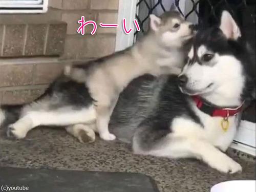 ドジなハスキーの子犬00