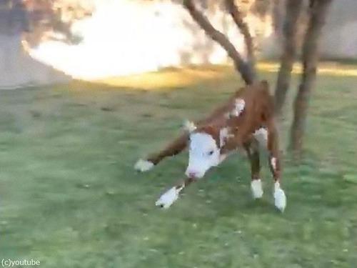 飛び跳ねる子牛01