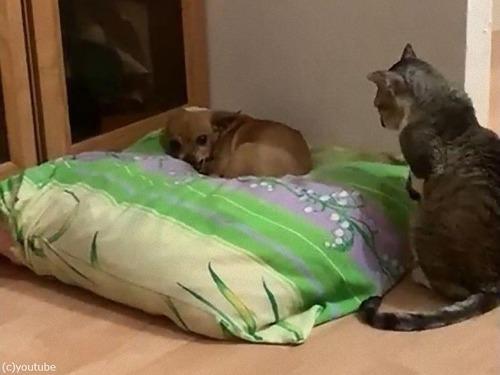 犬と仲良しになりたい猫04
