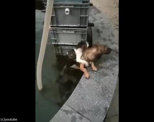 溺れている猫を救出する犬04