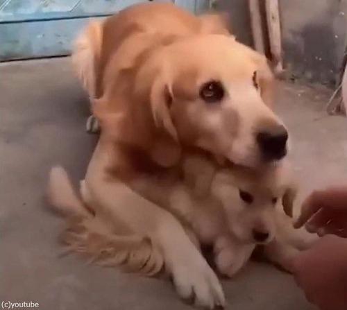 娘を溺愛するパパ犬01