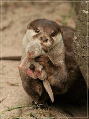 抱っこのカワウソの赤ちゃん