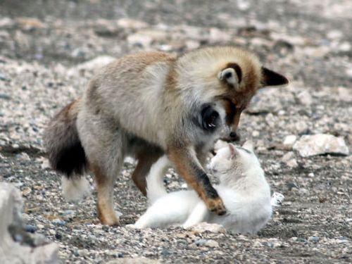 キツネと猫が仲良しに05