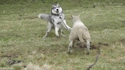 ハスキーと子羊は大親友04