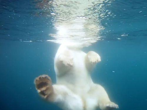 泳ぐシロクマを海中で撮影01
