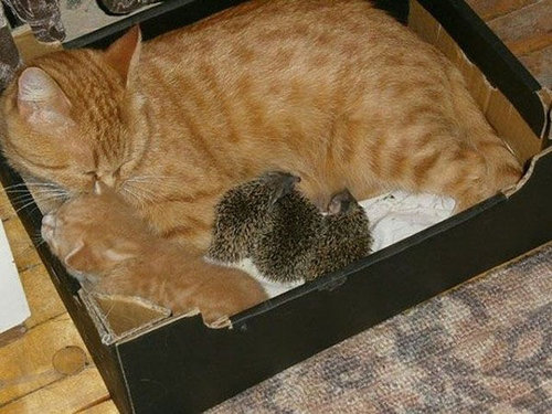 猫とハリネズミの赤ちゃん12