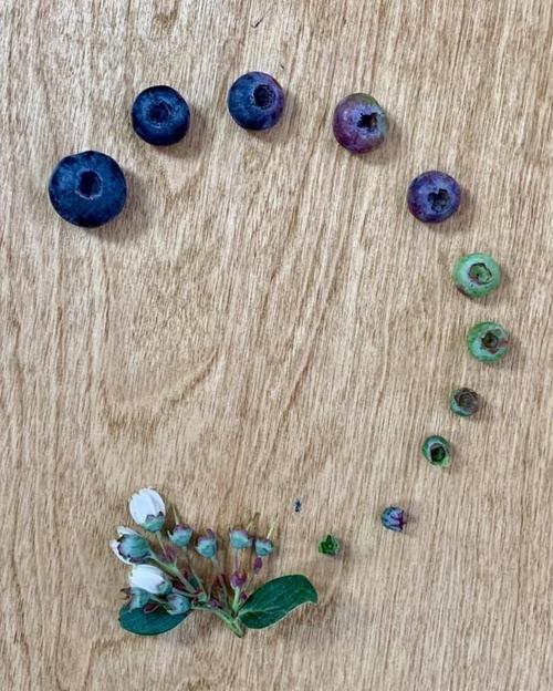 イチゴやブルーベリーの成長過程02