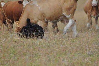 クマと牛の戦い03