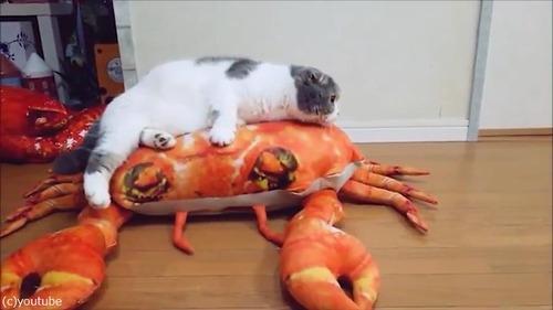 後ろ足のない猫の移動方法が斬新04