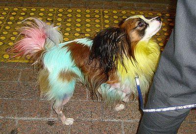 カラフルに染められた犬07