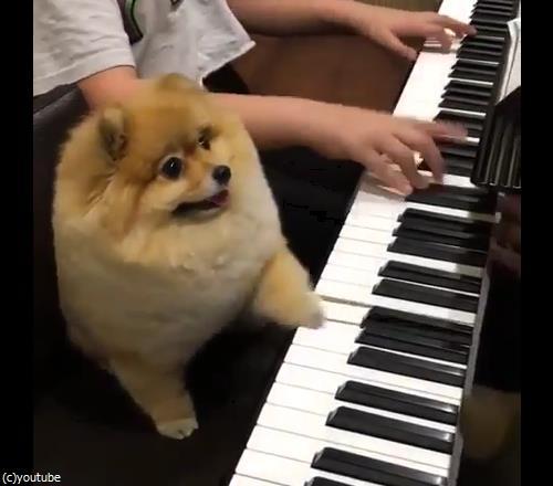 うちの犬はピアニスト01