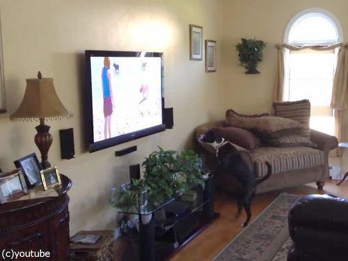 テレビを見て興奮する犬02
