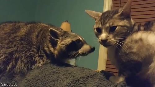 遊んでほしいアライグマVSクールな猫04