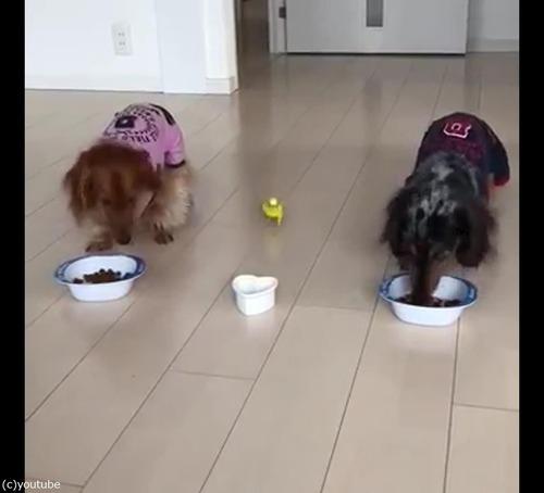 犬と並んでご飯を食べるインコ02