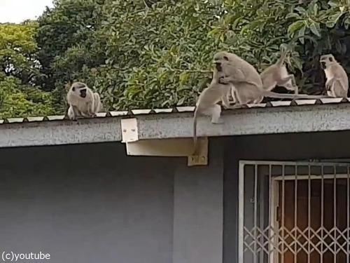 ケガした猿が家族の元へ00