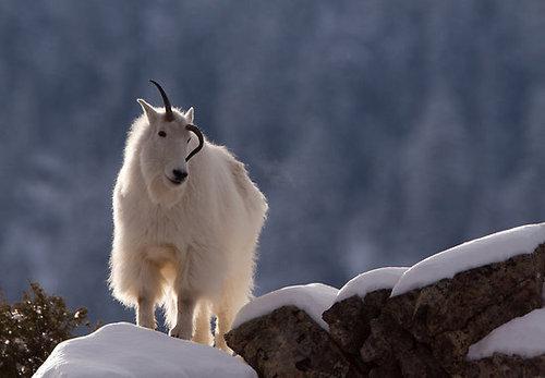 崖の上のヤギ04