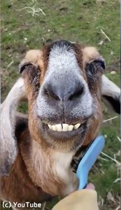 ブラッシングされると笑顔が止まらないヤギ02