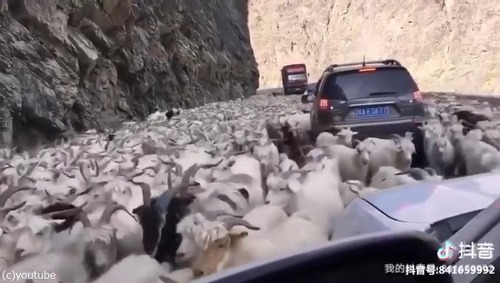 ヤギの鳴きまねに反応するヤギたち02