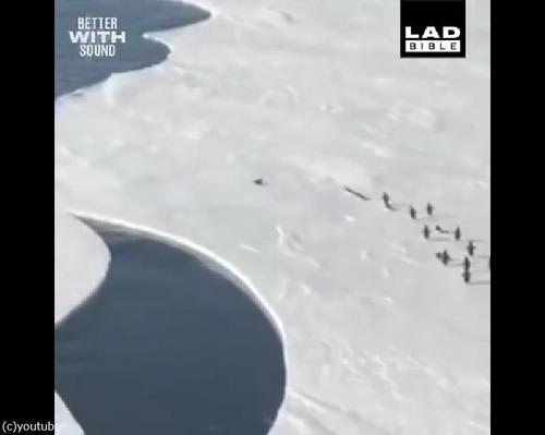 危うく群れからはぐれるペンギン…ハラハラする動画04