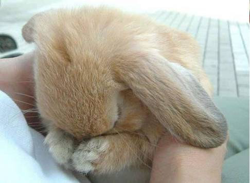 恥ずかしがるウサギ05