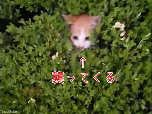 茂みから子猫00