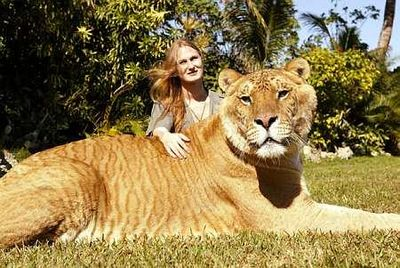 虎とライオンの交配種・ライガー01