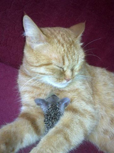 猫とハリネズミの赤ちゃん09