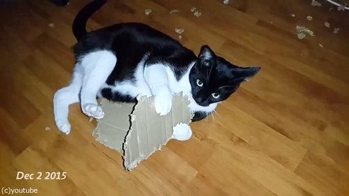 ダンボールをぼこぼこに粉砕する猫07