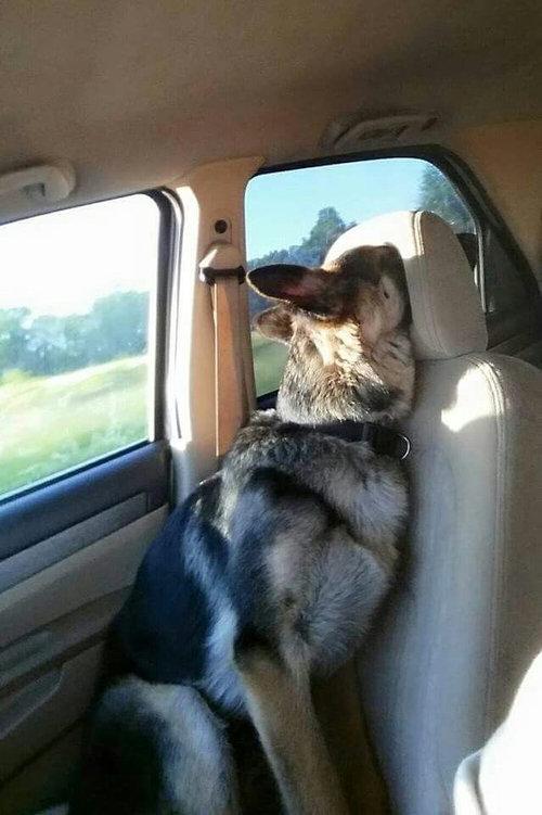 犬とヘッドレスト01