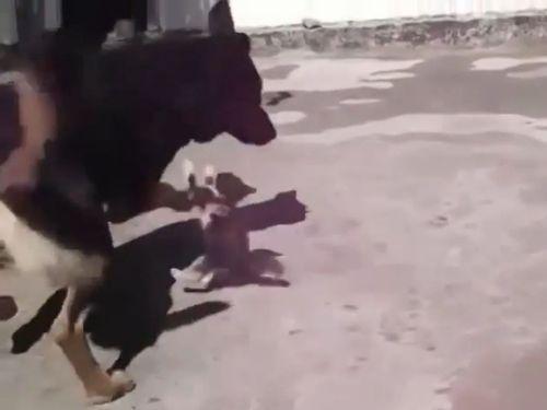 子猫と大きな犬の対決01