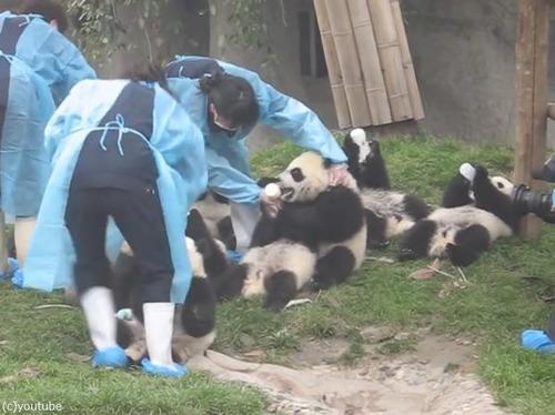 パンダの赤ちゃん02