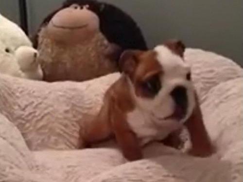 新しいベッドがお気に入りの子犬00