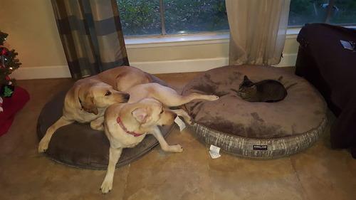 猫にベッドを奪われた犬たち12