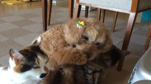 猫化するトイプードル01