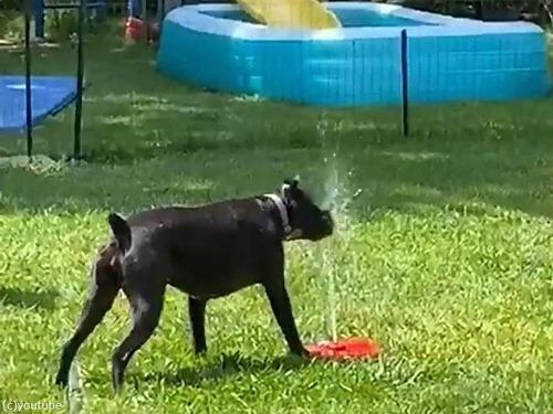 噴水のおもちゃと犬00