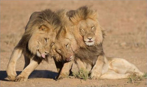 酔いつぶれたライオン03