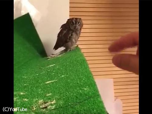 フクロウは翼のある猫なんだな01