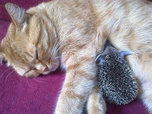 猫とハリネズミの赤ちゃん08