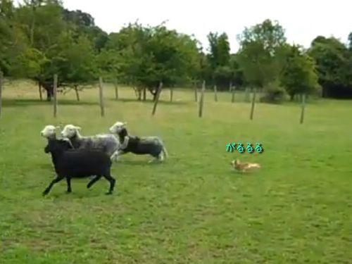 牧羊犬チワワ