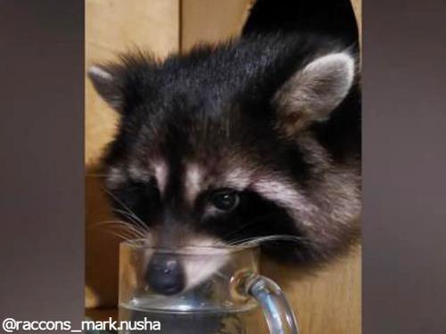 水を飲むとき…個性的なお顔になってしまうアライグマ00