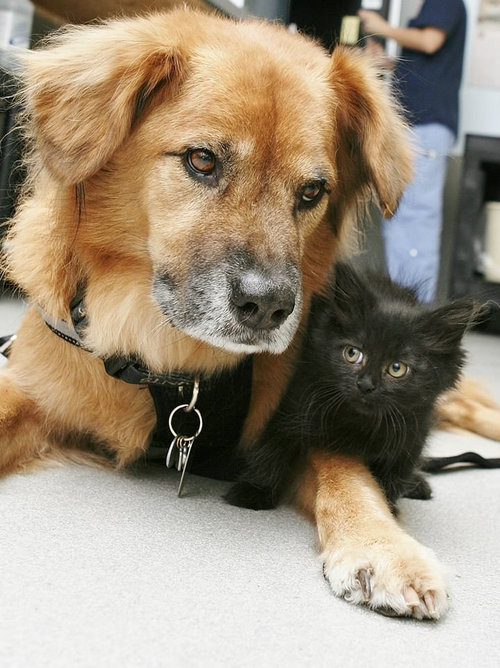 ハリケーン・カトリーナから救出された犬、猫のお母さん役となる01