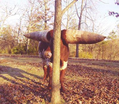 世界一のツノを持つ牛06