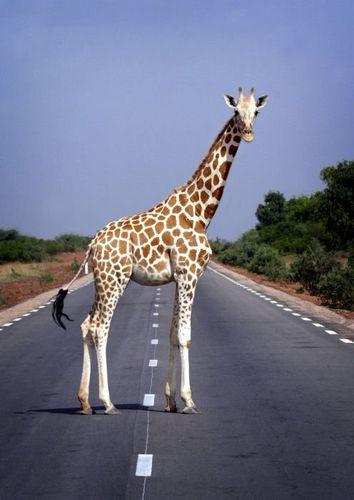 道路を渡る動物13