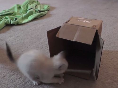 子猫とダンボール箱01