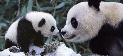 雪で大はしゃぎのパンダ親子02